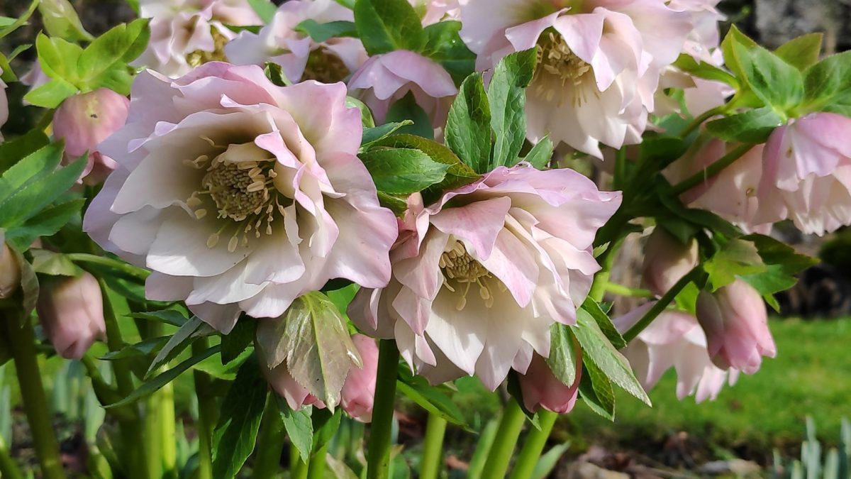 Hellebores in my Garden for Wellbeing and Meditation at Cascades Gardens Derbyshire